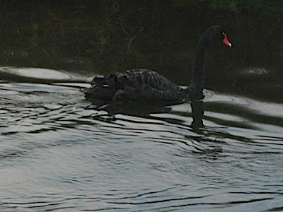 Anglesey Black Swan