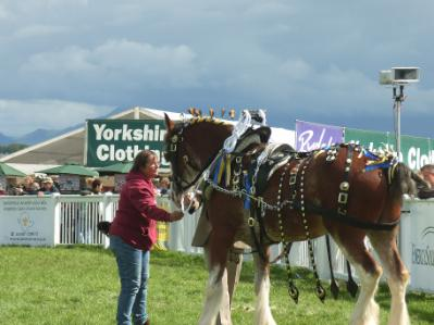 Anglesey Show Shire Horse