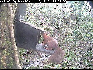 Anglesey Red Squirrels, Beaumaris