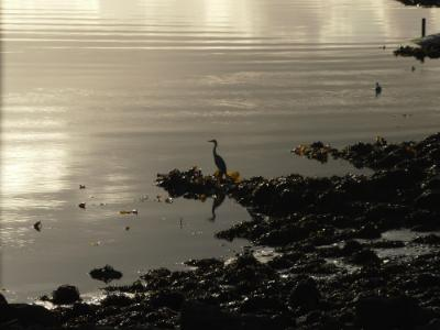 A cormorant or shag on the Menai Straits Anglesey Hidden Gem
