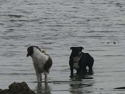 Doggies on Rhosneigr Broad Beach Anglesey