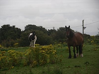 Anglesey Horsies Consider Their Options