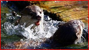 Anglesey Otters