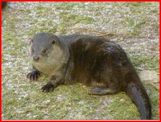Anglesey Otters Comeback