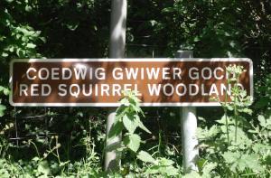 Red Squirrels Mynydd Llwydiarth Anglesey