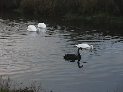 Anglesey Swan Pair