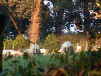 Dulas Bay - Indifferent Sheep