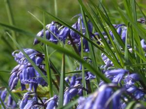 Springtime Bluebells on Anglesey