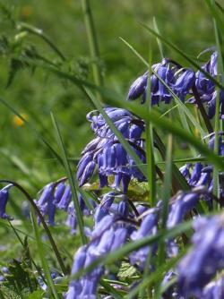 Spring Bluebells Anglesey Hidden Gem