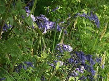 Anglesey Blue Bells