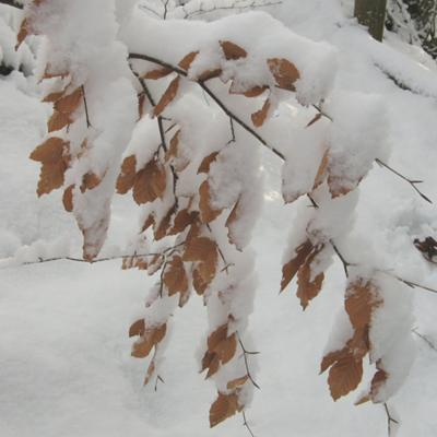 Young beech trees bowed down by snow