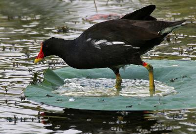 Common Moorhen ''Gallinula chloropus'' in a ''Nelumbo nucifera'' Indian Lotus pond at Lotus Pond, Hyderabad, India by J.M.Garg