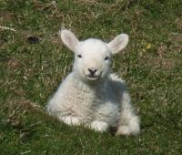Dulas Cute Lamb