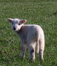 Lligwy Beach Gazing Lamb