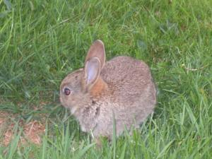 Moelfre Ickle Bunny