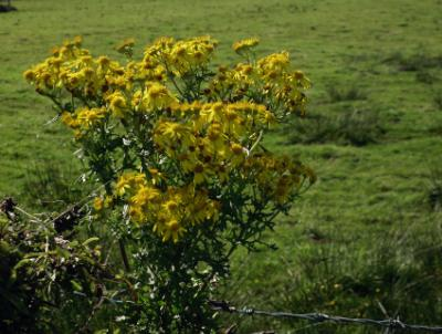 Anglesey County Flower - NOT!