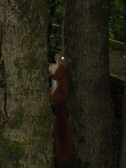Nant y Pandy Nature Reserve - Red Squirrel Llangefni