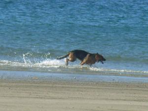 Sandy Beach Speeding Doggie