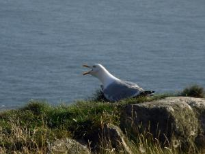 Angry Seagull Guarding South Stack Lighthouse Anglesey