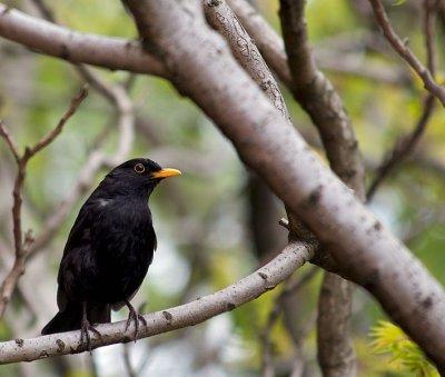 Blackbird image courtesy of Pete Birkinshaw from Manchester